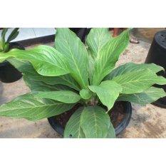 Amefurashi Benih / BIbit / Seed Anthurium Jenmanii