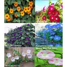 Amefurashi Paket Hemat Benih / Bibit Bunga Morning Glory Seeds isi 6 Jenis Bunga