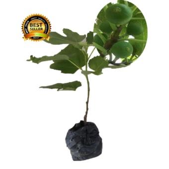 Beli Bibit Tanaman Bibit Buah Jeruk Lemon Lokal Tinggi 40cm Spek Source · BIBIT TANAMAN BUAH