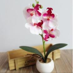 Fancy Four Butterfly Orchid Bonsai Flower color:White - intl