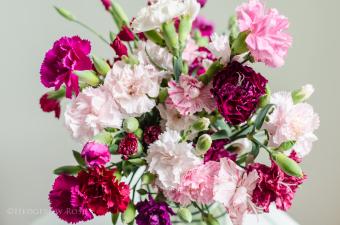 biji benih bunga carnation enfant de nice berisi 5 butir