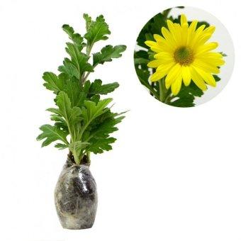 Kebunbibit Tanaman Hias Bunga Krisan Kuning