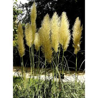 Harga Amefurashi Benih / BIbit / Seed Yellow Pampass Grass Ornamental Grass Rumput Unik