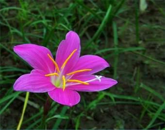 berisi 5 umbi benih bunga habranthus robustus