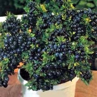 biji benih bonsai buah blueberry import berisi 15 butir