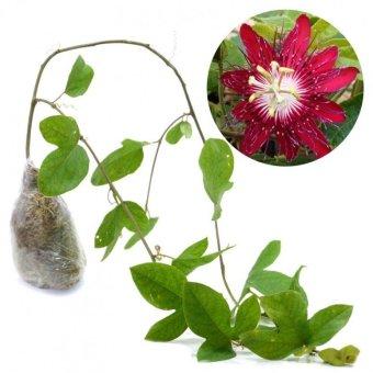 Kebunbibit Tanaman Merambat Red Passiflora
