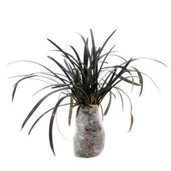 Kebunbibit Tanaman Hias Daun Black Mondo Grass
