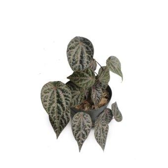 Alestani - Tanaman Herbal Daun Sirih merah