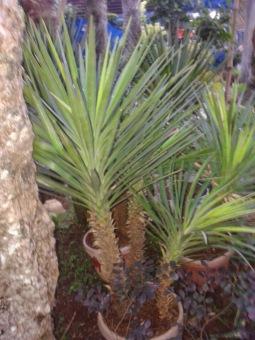 berisi 25 biji benih tanaman pohon tombak raja