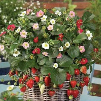 Bibit Bunga Benih Strawberry Alpine Red & Cream