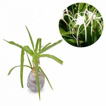 Kebunbibit Tanaman Hias Bunga Spider Lily