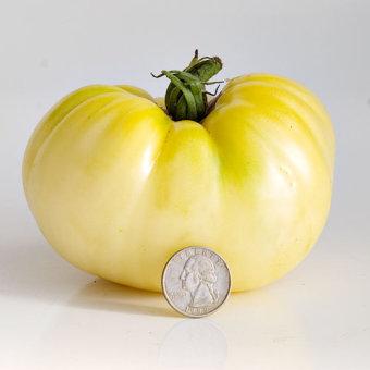 biji benih buah tomat putih berisi 20 butir