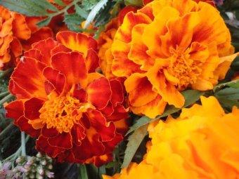 biji benih bunga marigold sparky mix berisi 25 butir