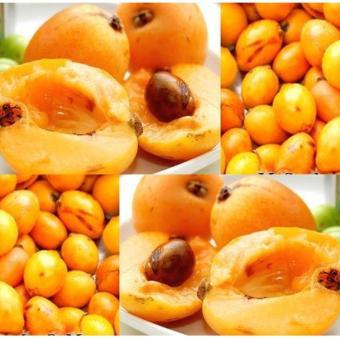 berisi 1 biji benih minor fruit
