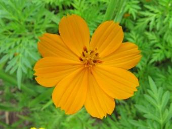 biji benih bunga cosmos orange berisi 25 butir