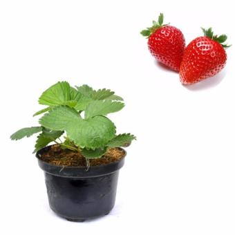 Tanaman Buah Strawberry Holland