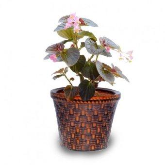 Kebunbibit Tanaman Hias Daun Pink Begonia