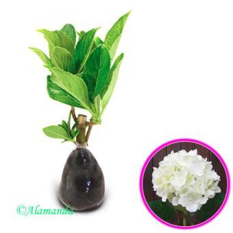 Tanaman Hias Hydrangea Putih