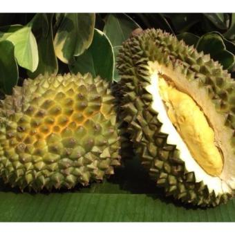 Bibit Tanaman Durian Kani (Chanee)