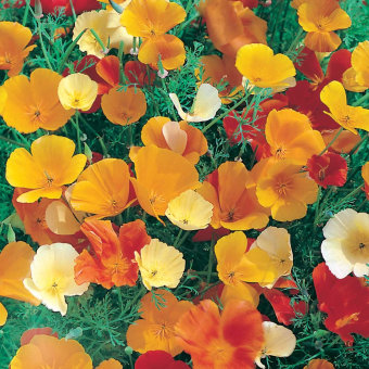 Bibit Bunga Benih Californian Poppy Single Mixed