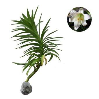 Bibit Tanaman Easter Lily