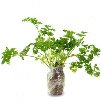 Kebunbibit Tanaman Sayuran Dan Bumbu Parsley Moss Curled