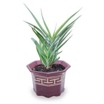 Kebunbibit Tanaman Kaktus Dan Sukulen Green Aloe