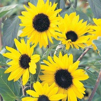 Harga Bibit Bunga Benih Bunga Matahari Alchemy