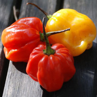 Bibit Bunga Benih Cabe Scotch Bonnet