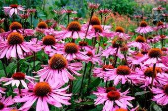 Harga Amefurashi Bibit Benih Bunga Gerbera Daisy Flower Rumah Tangga Source Harga Bibit .