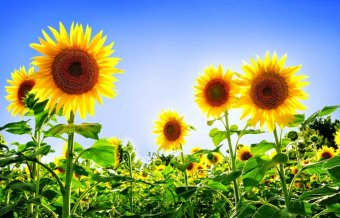 biji benih bunga matahari sunsmile berisi 25 butir
