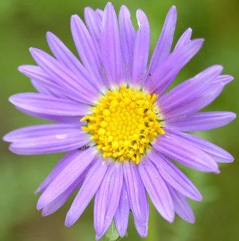 biji benih bunga aster prairie berisi 25 butir