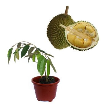 Belibibit Durian D24