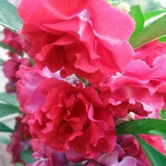 berisi 10 biji benih bunga balsamina mawar pink