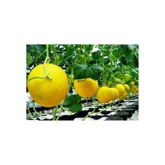 Harga Amefurashi Bibit / Benih / Seed Buah Melon Golden Sweety Fruit Honeydew