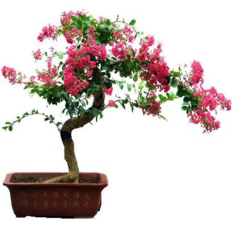 Harga biji benih bonsai bunga bungur pink berisi 50 butir