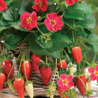 Harga biji benih buah strawberry rambat berisi 20 butir