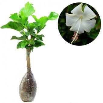 Kebunbibit Tanaman Hias Bunga White Hibicus Hawaii