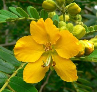 berisi 5 biji benih bunga Senna lindheimeriana