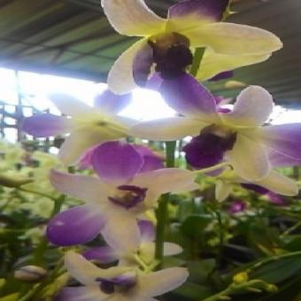 Bibit Tanaman Anggrek Dendrobium Yellow Purple Blush