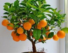 Victory Seed Biji Benih Bonsai Buah Jeruk Mandarin Berisi 15 Butir