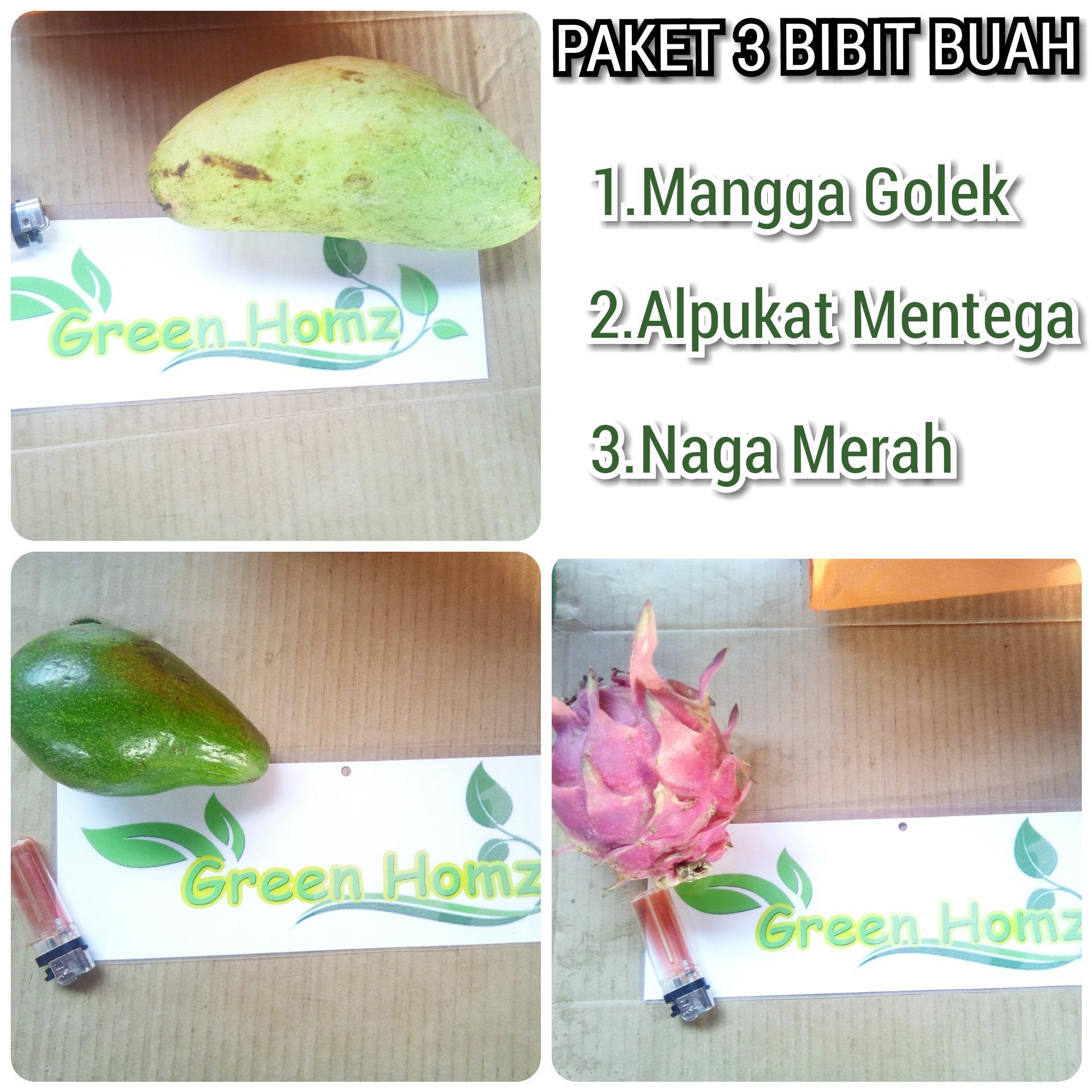 Paket 3 bibit buah Alpukat/Mangga/naga merah