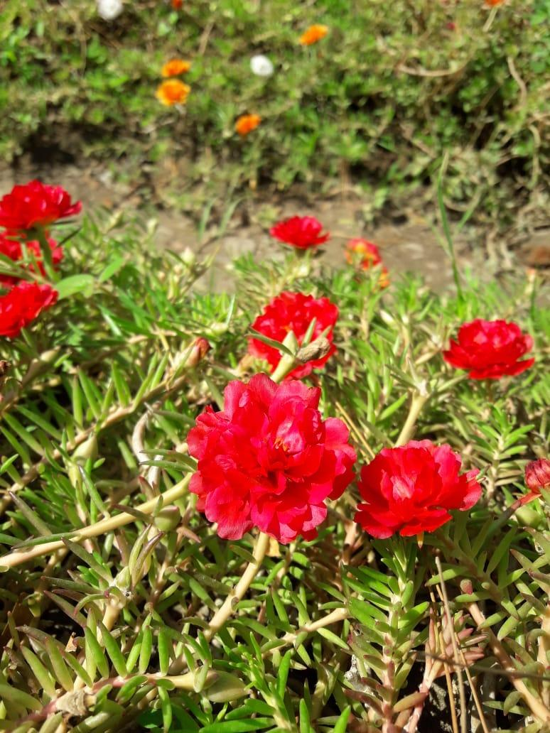 Buy   Sell Cheapest PURIEGARDEN STEK PORTULACA Best Quality Product ... 8f27c832a3