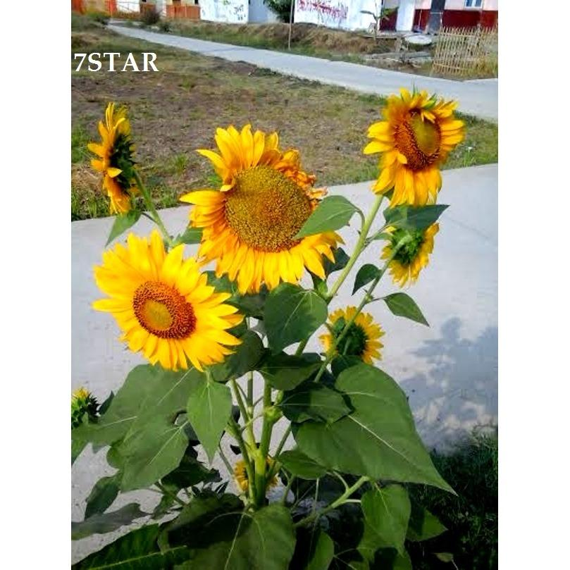 Bibit Bunga Matahari Biji Bunga Matahari Siap Tanam / Benih Bunga Matahari Mantap 7STAR Bunga Matahari Kuning - 100 Pcs