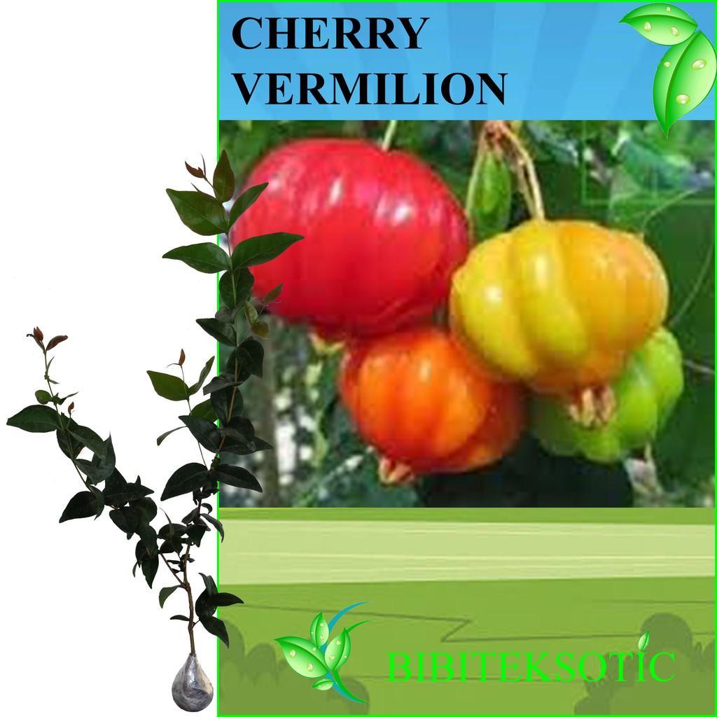 Tanaman Cherry Suriname / Vermilion (Tinggi 40-60 Cm)