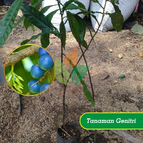 Bibit Pohon Jenitri/Genitri Biji 30 cm