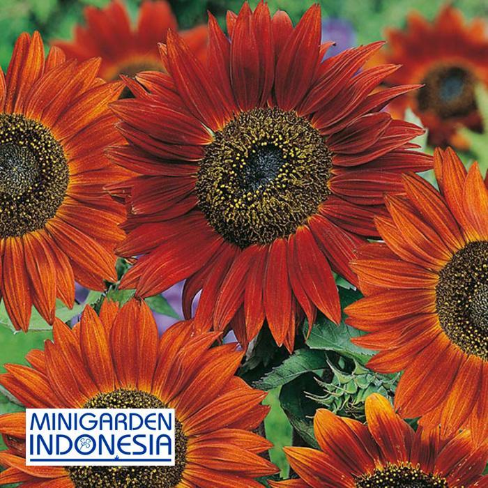 2 Benih Bunga Matahari Sunflower Velvet Queen F1 Mr Fothergills Bibit Tanaman Hias