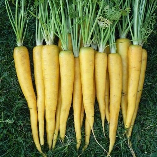 Bibit / Benih / Seeds Sayur Wortel Kuning Solar Yellow Carrot Unik