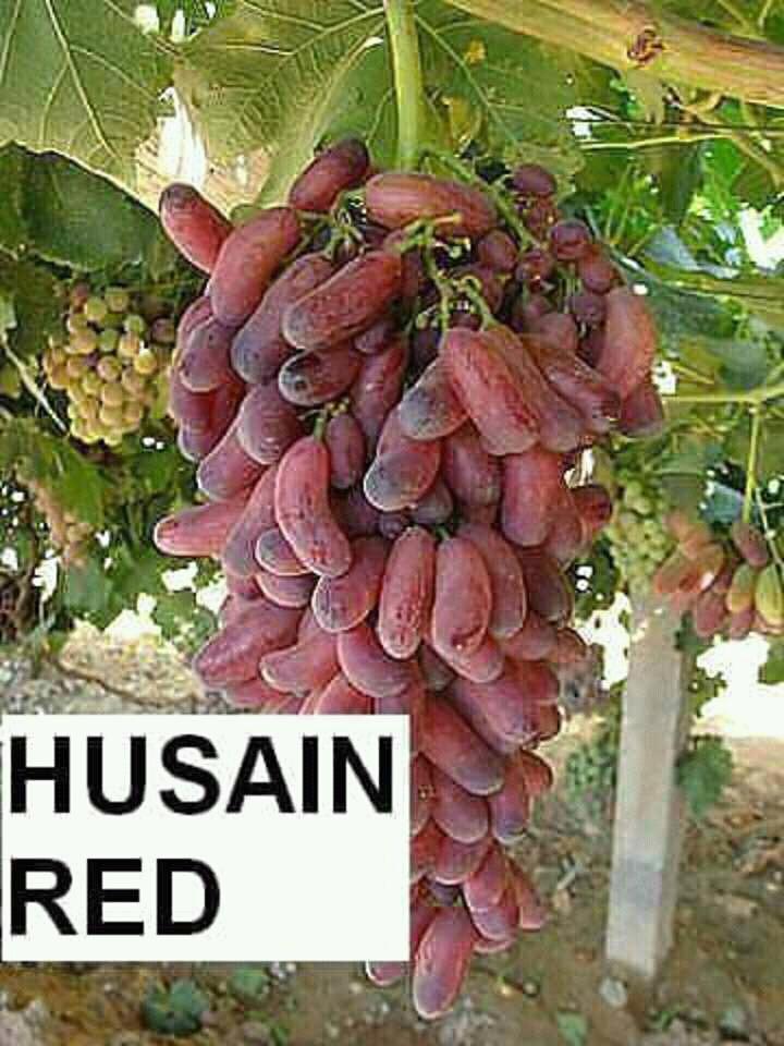 Bibit tanaman buah anggur impor merah