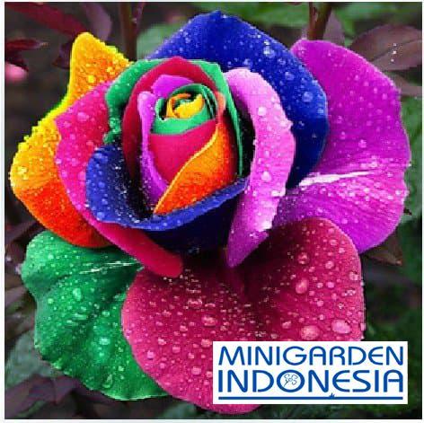3 Benih Mawar Pelangi / Rainbow Rose Bibit tanaman bunga